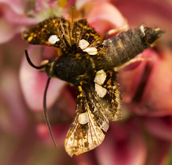 small moth - Thyris maculata