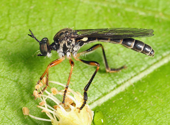 robber fly - Dioctria hyalipennis