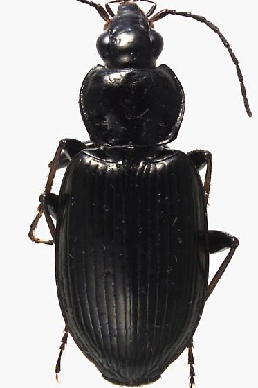 Ground Beetle - Agonum melanarium