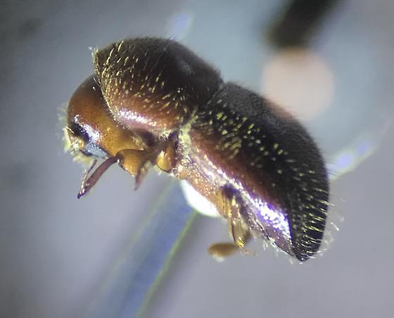 Ambrosiodmus sp. - Xylosandrus crassiusculus