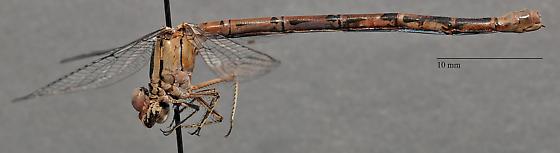 Coenagrionidae - Argia sp? - female