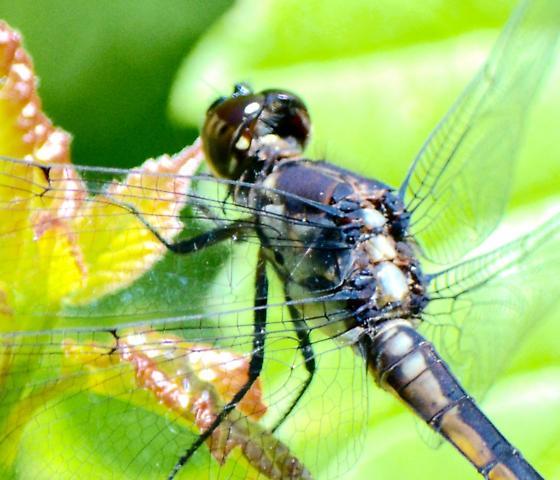 Libellula sp. dragonfly - Libellula