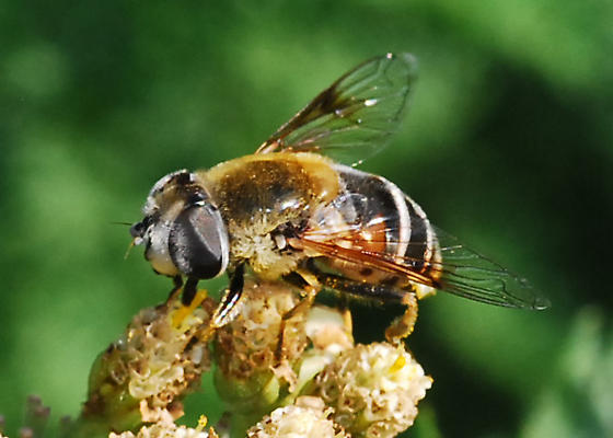 Reality Check: Is this Palpada? - Eristalis stipator - female