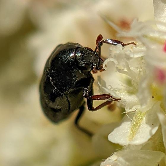 Meligethinae? - Orphilus subnitidus