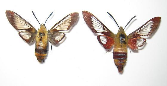 diffinis vs. thysbe - Hemaris