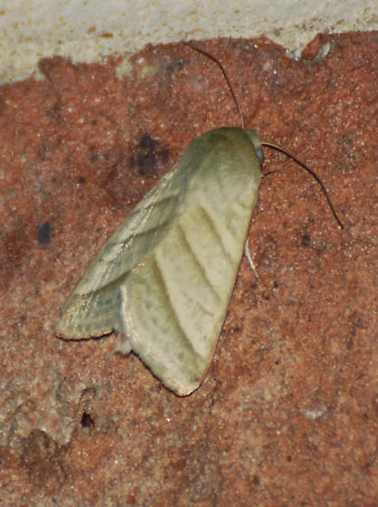 Tan Moth - Chloridea virescens