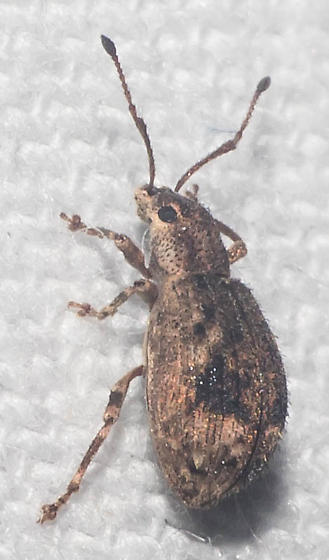 Black-smudged broad-nosed weevil - Pseudoedophrys hilleri