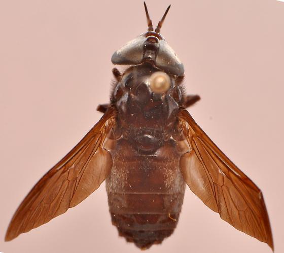 Whitneyomyia beatifica head dorsal - Whitneyomyia beatifica - female