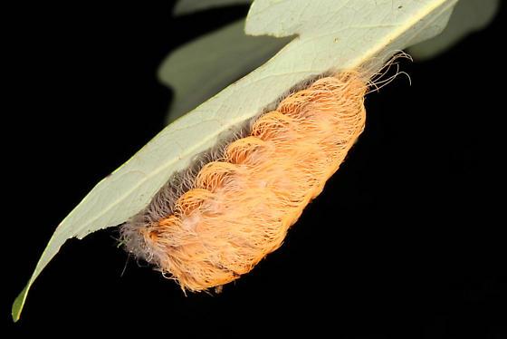 Unknown caterpillar - Megalopyge crispata