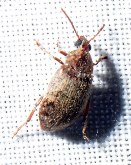 Amblycerus robiniae  - Amblycerus robiniae
