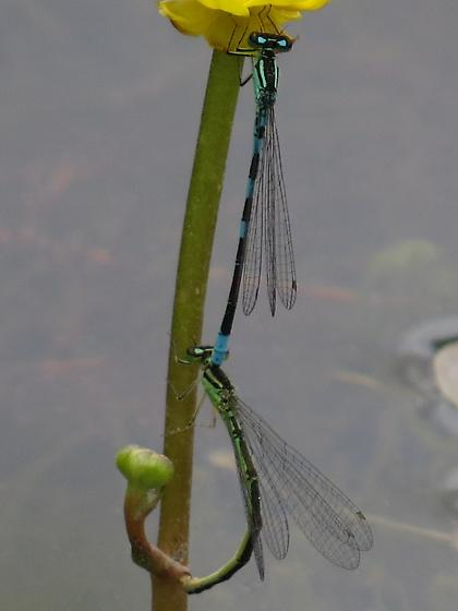 Damselflies - Coenagrion resolutum - male - female