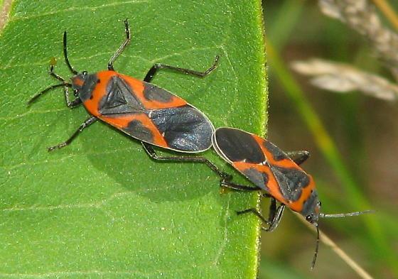 Unknown Beetles Mating  - Lygaeus kalmii