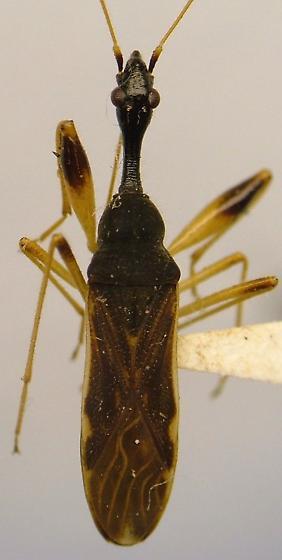 Myodocha - Myodocha serripes