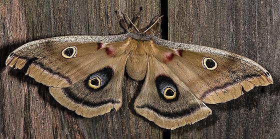 Antheraea polyphemus Female - Antheraea polyphemus - female