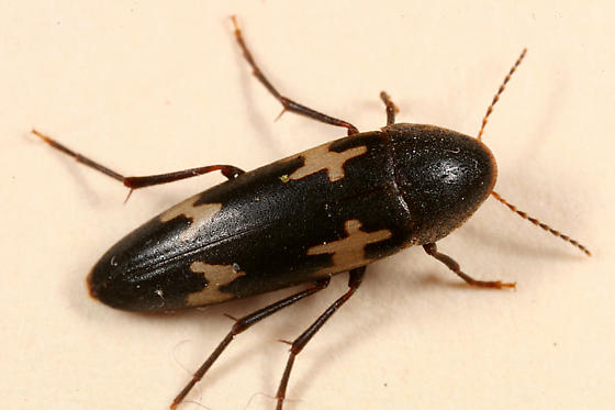 beetle - Dircaea liturata