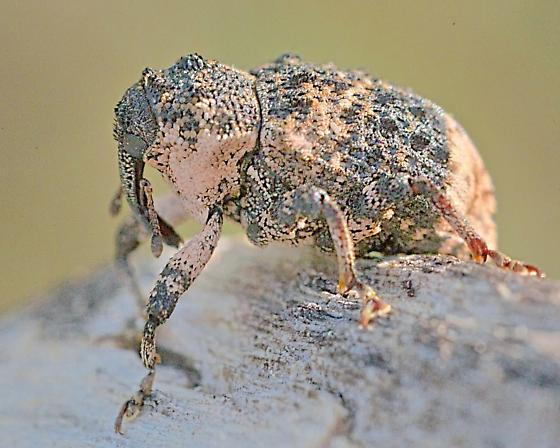Poplar-and-willow Weevil? - Cryptorhynchus lapathi