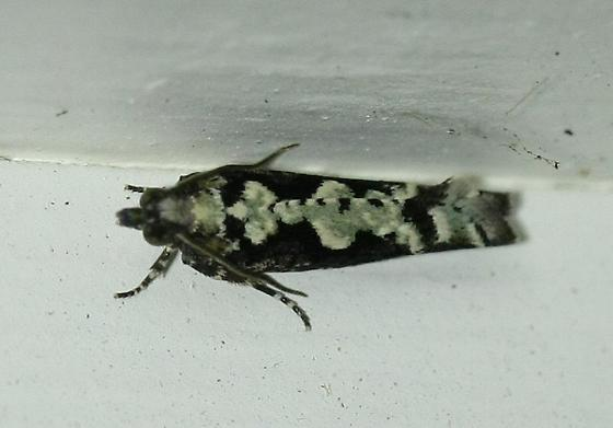 Moth - Chimoptesis pennsylvaniana