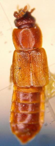 Xylodromus depressus (Gravenhorst) - Dropephylla longula