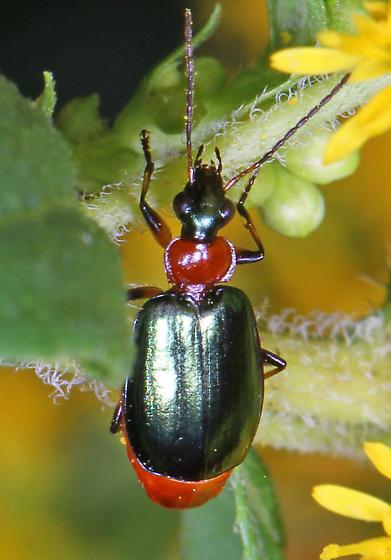 Ground Beetle - Lebia viridipennis for Virginia? - Lebia viridipennis