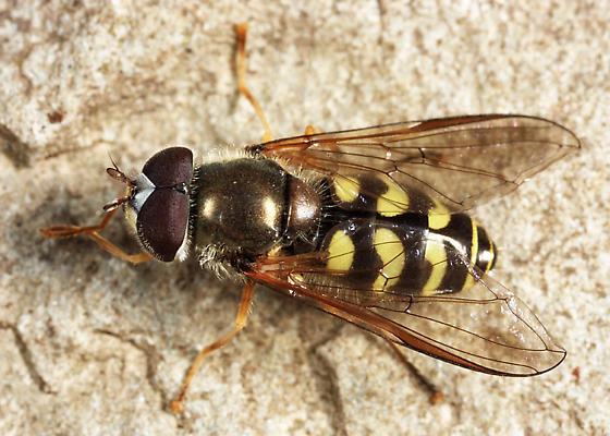 Syrphid - Dasysyrphus venustus - male