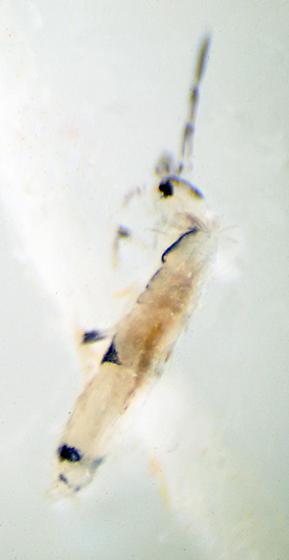 Unknown Springtail - Seira brasiliana