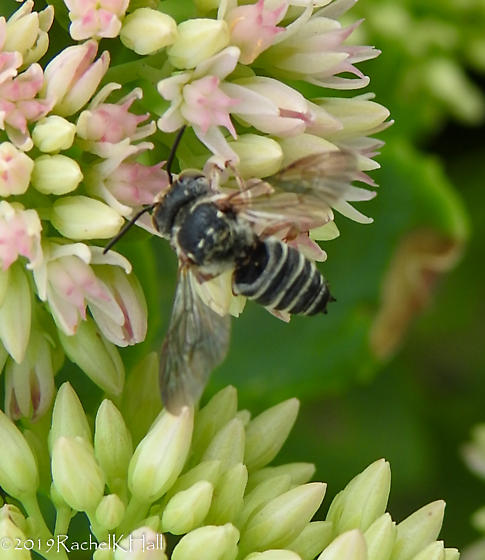 Bees ~ Leaf-cutter Megachile - Is it possible to ID further? - Coelioxys - male