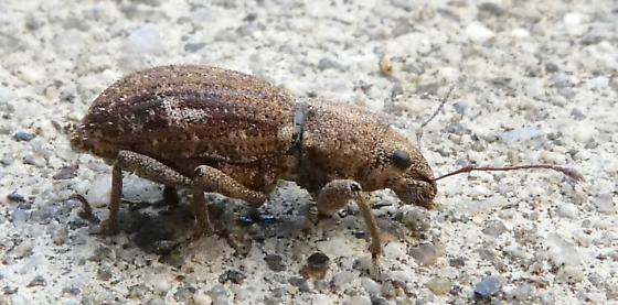 Broad-nosed weevil? - Naupactus cervinus