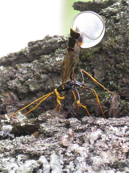 Megarhyssa macrurus lunator - Megarhyssa atrata