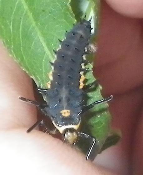 Anatis larva, day 3 - Anatis labiculata