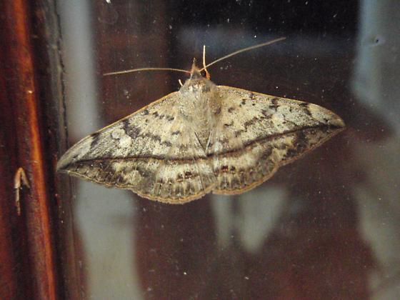 unknown moth - Anticarsia gemmatalis