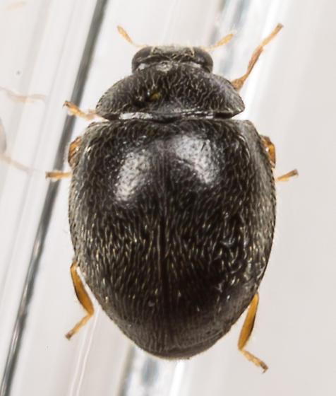Beetle - Stethorus punctum - male