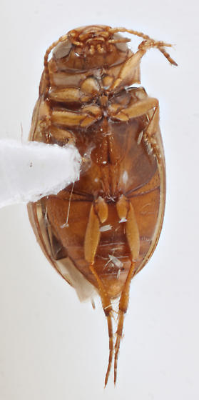 Belden-J.2021.50 - Liodessus obscurellus