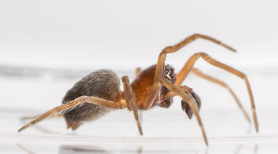 Spider - Dictyna brevitarsa - male