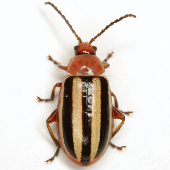 Disonycha leptolineata Blatchley - Disonycha leptolineata