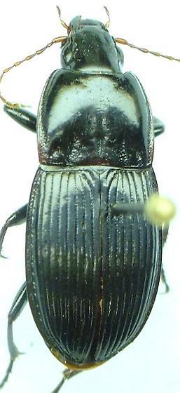 Pterostichus - Pterostichus permundus