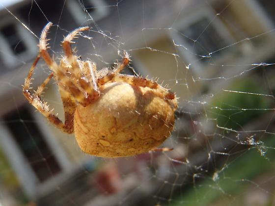 Spider in CT - Araneus diadematus - female