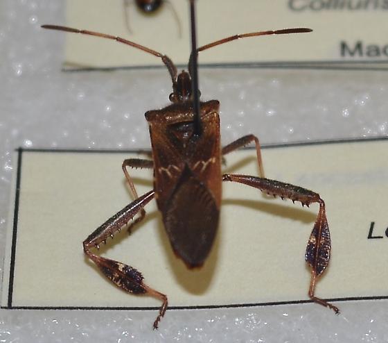 Leptoglossus corculus or Leptoglossus occidentalis - Leptoglossus corculus