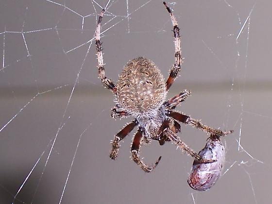 Spider in NH - Neoscona crucifera - male - female