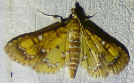 Niphograpta albiguttalis - Water Hyacinth Moth  - Niphograpta albiguttalis