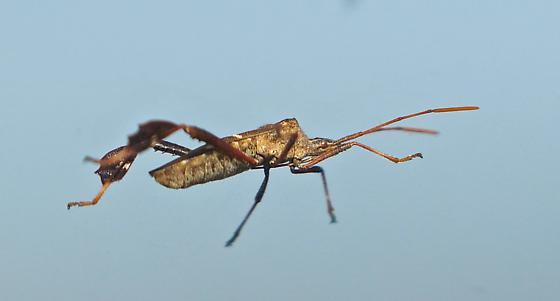 Eastern Leaf-footed Bug (Leptoglossus phyllopus) - Leptoglossus phyllopus