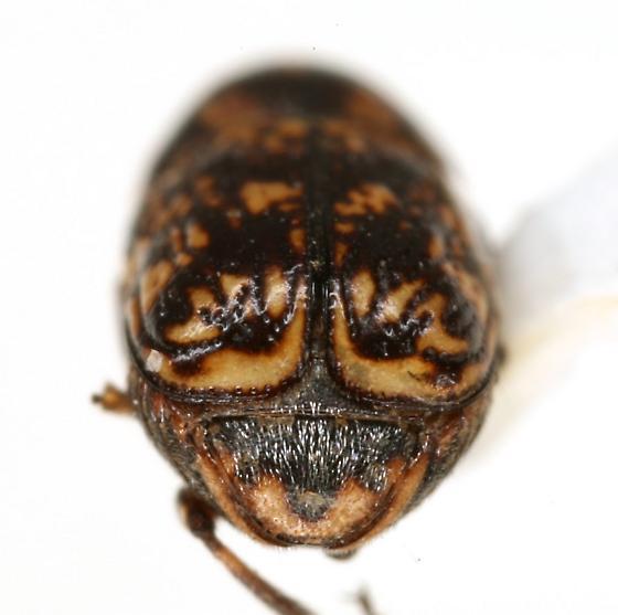 Pachybrachis turgidicollis Fall - Pachybrachis turgidicollis