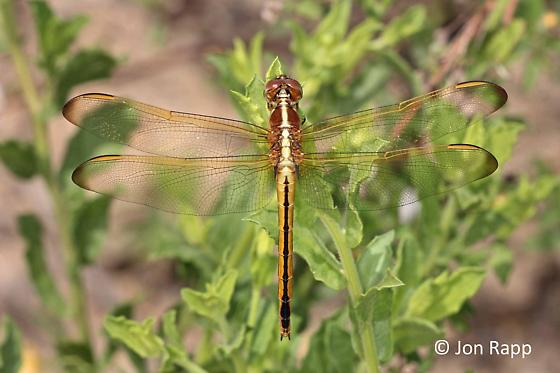 Needham's Skimmer Dragonfly - Libellula needhami - female