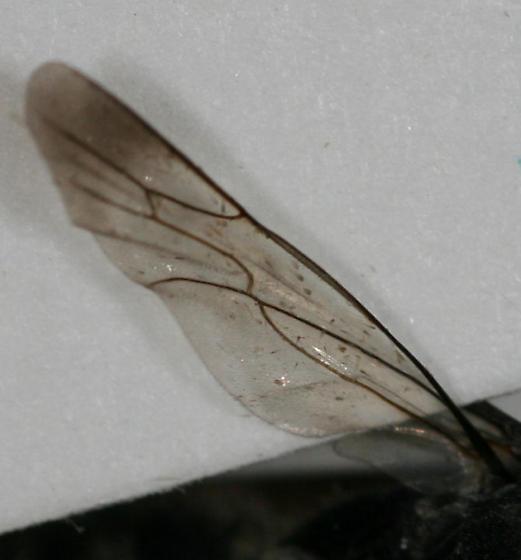 Hairy Pompilid - Psorthaspis - male