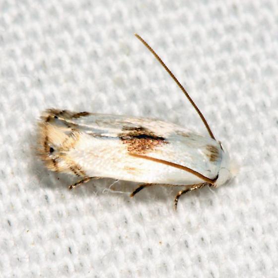 moth - Pseudopostega cretea