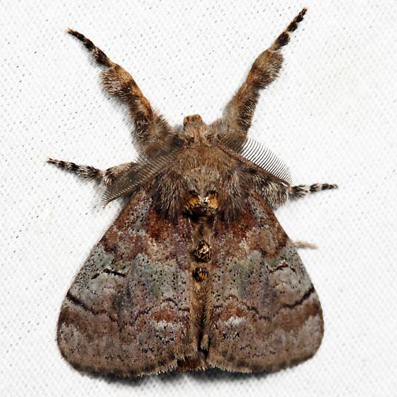 Cinnamon Tussock Moth - Dasychira cinnamomea - male