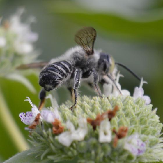Bee - Megachile mendica
