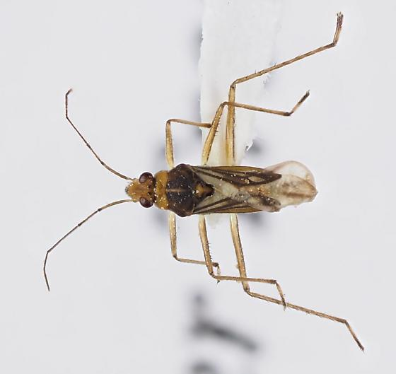 Water Treader Mesoveliidae - Mesovelia
