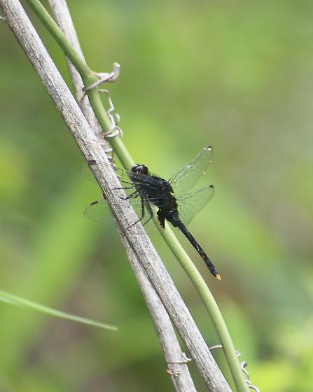 Black Pondhawk - Erythemis attala - male