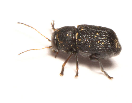 Chrysomelidae, Scriptured Leaf Beetles, lateral - Pachybrachis