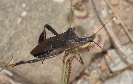 Leaf-footed Bug - Leptoglossus concolor